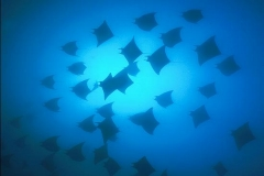 Scuba Diving with Devil Rays