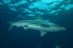 Shark Diving with Blacktip Sharks
