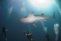 Scuba Diving with Whale Sharks