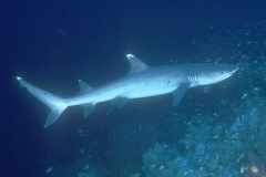 Scuba Diving with Whitetip Reef Sharks