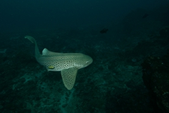 Scuba Diving with Leopard Sharks